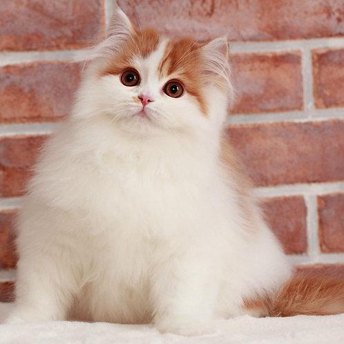 Barbaris Scottish straight longhair male kitten