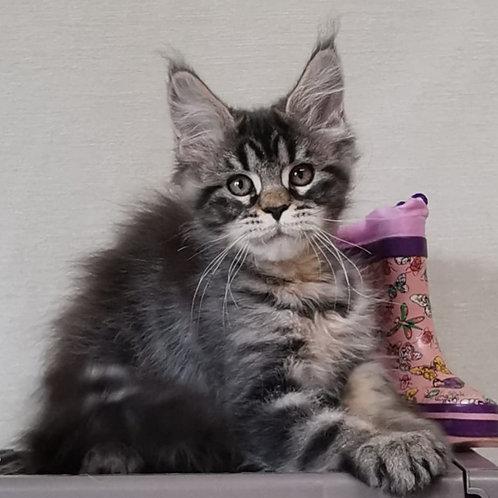 549 Dominanta    Maine Coon female kitten