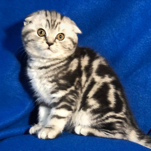 321 Cherry    Scottish fold shorthair female kitten