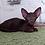 Thumbnail: 380 Valter   Oriental male kitten