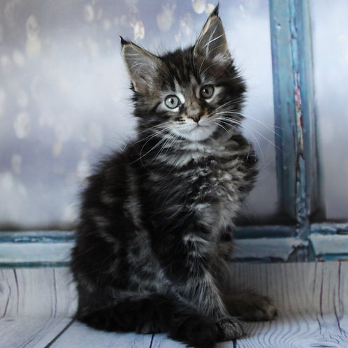 628 Lucy Maine Coon female kitten