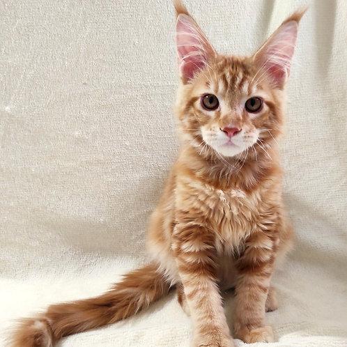 750 Bantik  Maine Coon male kitten
