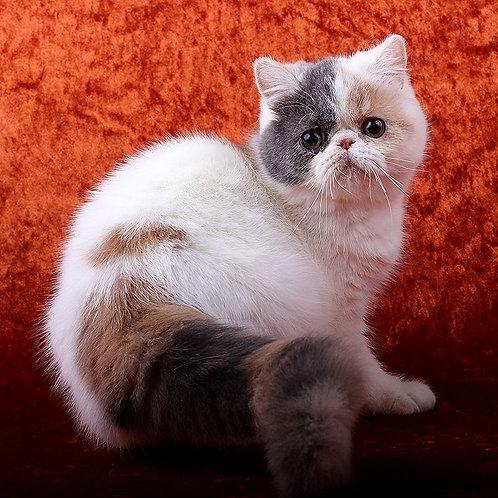 11 Gabrielly  Exotic shorthair female kitten