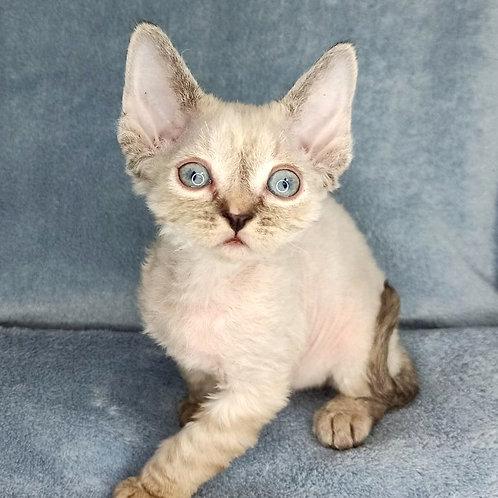 112 Zara female kitten Devon Rex