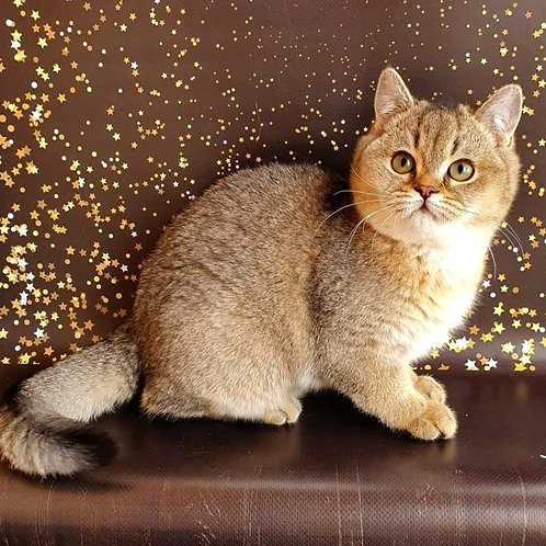 305 Messi  British shorthair male kitten