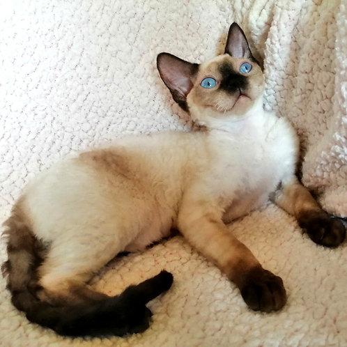 518 Stefani   female Devon Rex kitten