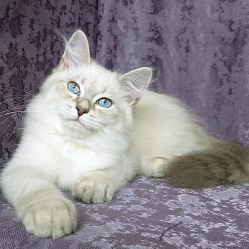 244 Barts   Siberian male kitten