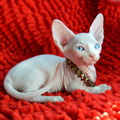 226 Alissandra female Bambino  kitten