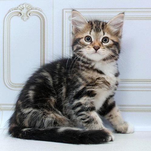 83 Loki    Siberian male kitten