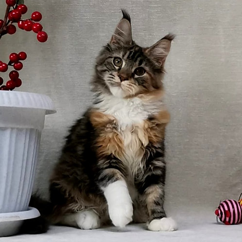 348 Imperatric    Maine Coon female kitten