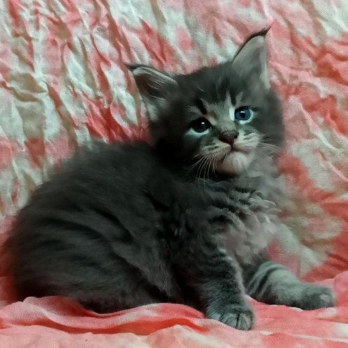 701 Aron   Maine Coon male kitten