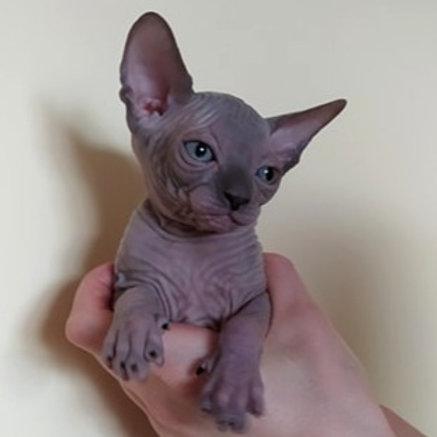177 Andi  female Elf straight kitten