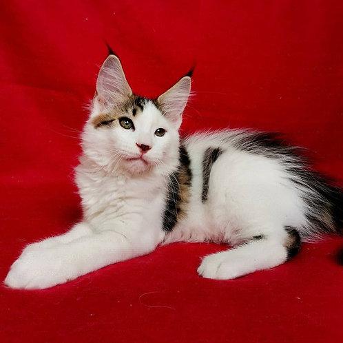 599 Luke  Maine Coon male kitten