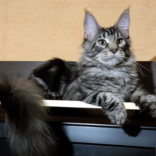 611 Alfred  Maine Coon male kitten