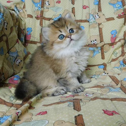 El Gato Scottish straight longhair male kitten