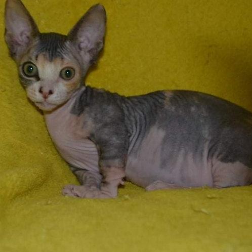 Sausage female Bambino  kitten
