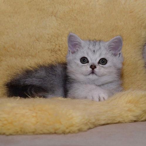 Charley British longhair male kitten