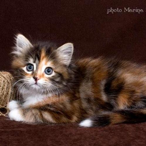 117 Margarita     Siberian female kitten