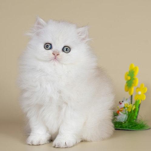 Yasmin Scottish straight longhair female kitten