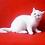 Thumbnail: 66 Brovko   Exotic shorthair male kitten