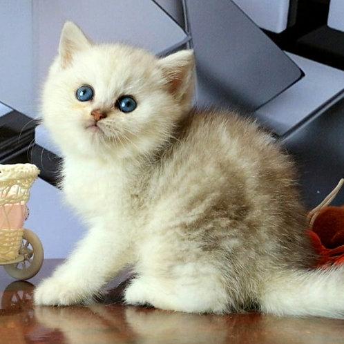 745 Nord  British shorthair male kitten