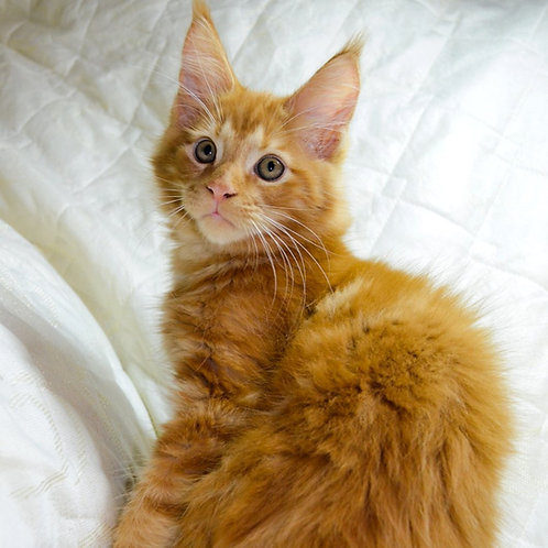 861 Cezar Maine Coon male kitten