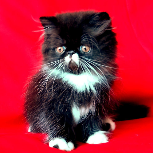 152 Hugo Boss   Persian  male kitten