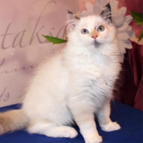 779 Pandora Siberian female kitten
