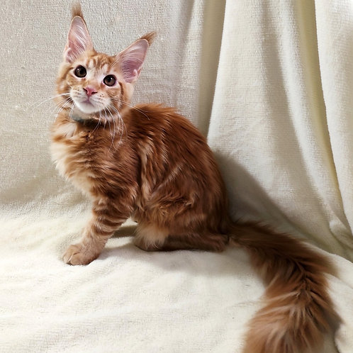 751 Betty  Maine Coon female kitten