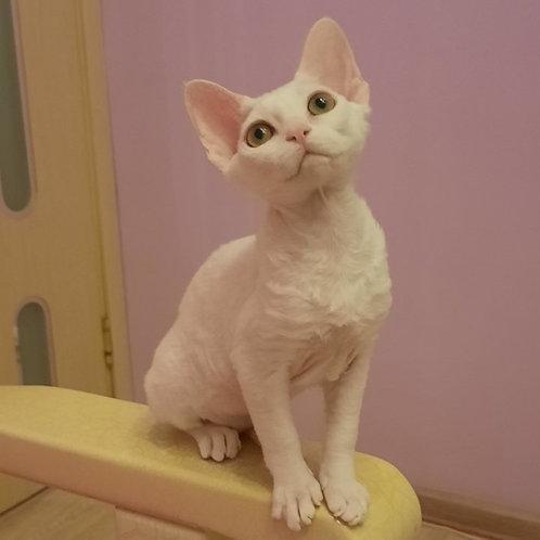 164 Yuta    female kitten Devon Rex