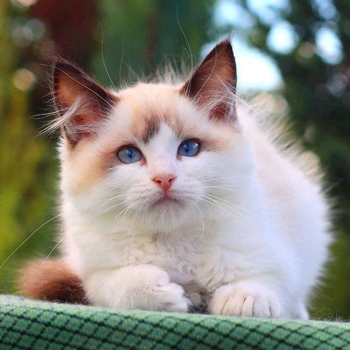 277 Felix   Ragdoll male kitten