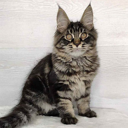 337 Kassien   Maine Coon male kitten