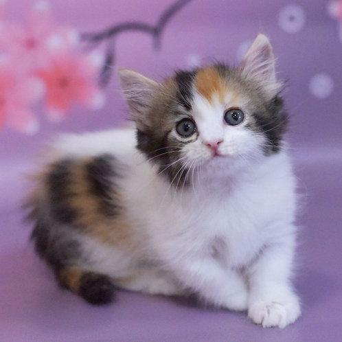 839 Francesca     Munchkin longhair female kitten