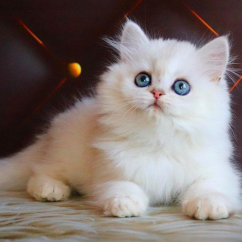 Kira British longhair female kitten