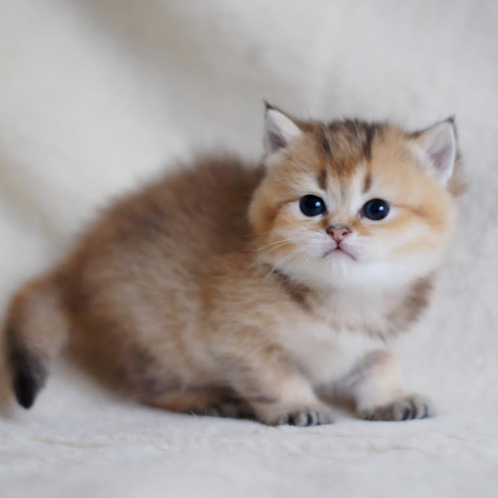 412 Jalina  British shorthair female kitten