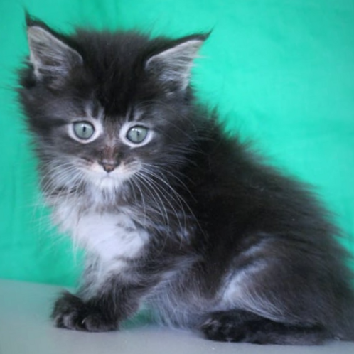 241 Alinka    Maine Coon female kitten