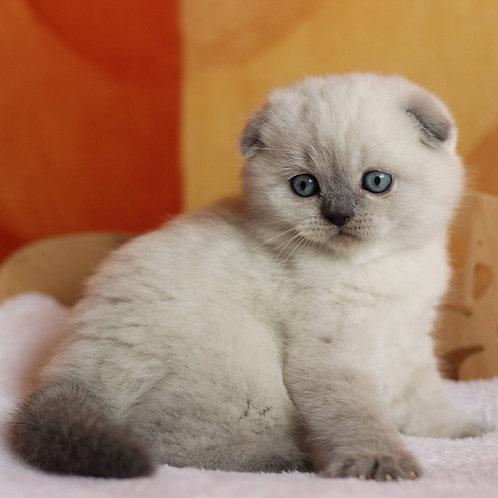 Ice-Cream Scottish fold shorthair male kitten