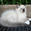 Thumbnail: 221 Vanilla    Ragdoll female kitten