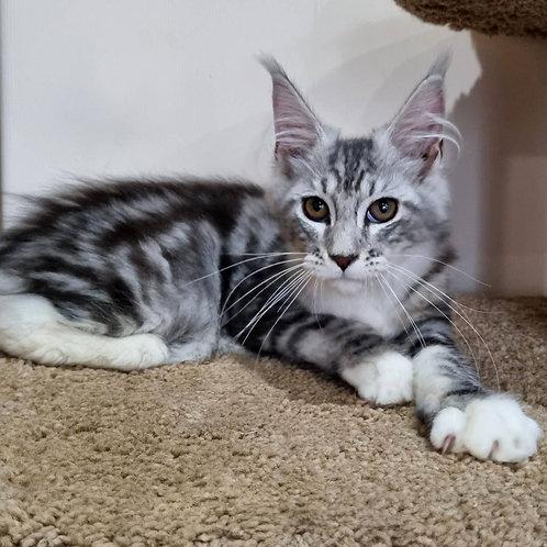 702 Stefania   Maine Coon female kitten