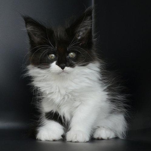 699 Demi Maine Coon female kitten