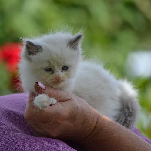 Muza  Ragdoll female kitten