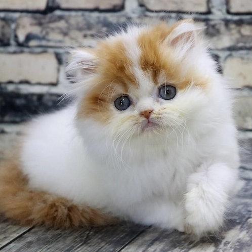 1133 Mishka  Scottish straight longhair male kitten