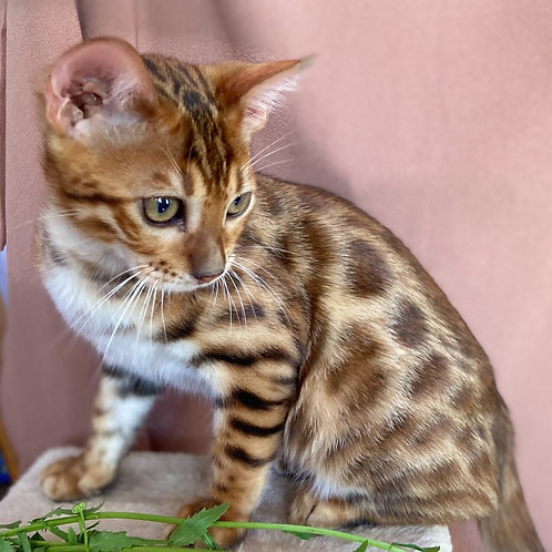 169 Gerald  purebred Bengal male kitten