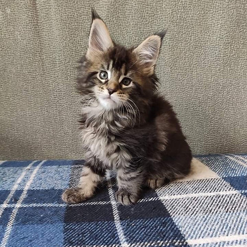 Ciri Maine Coon female kitten