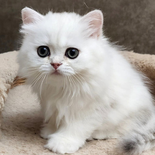 963 Gucci   British longhair male kitten