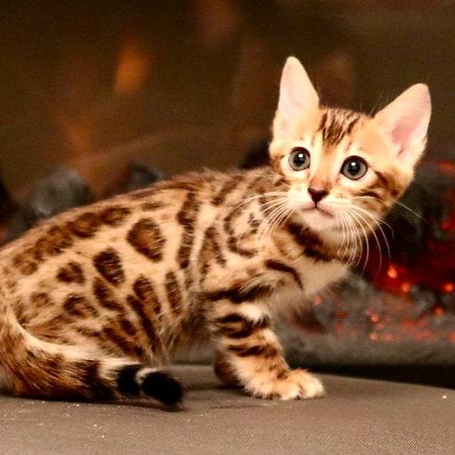 42 Ameliya   purebred Bengal female kitten