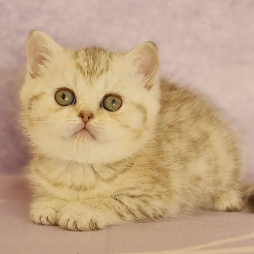 516 Asti   Scottish straight shorthair female kitten