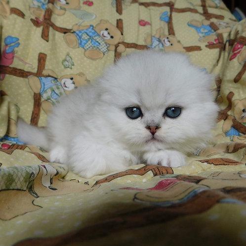 Emperator Scottish fold longhair male kitten