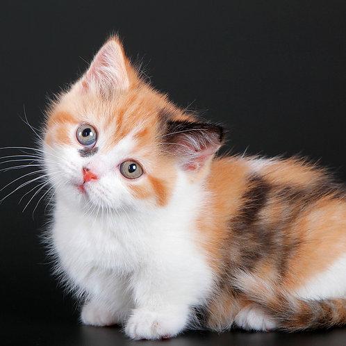 1054 Brigantina      Munchkin shorthair female kitten