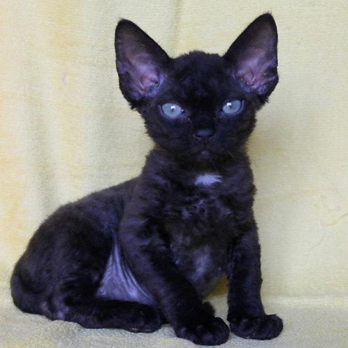 435 Fidel  male kitten Devon Rex